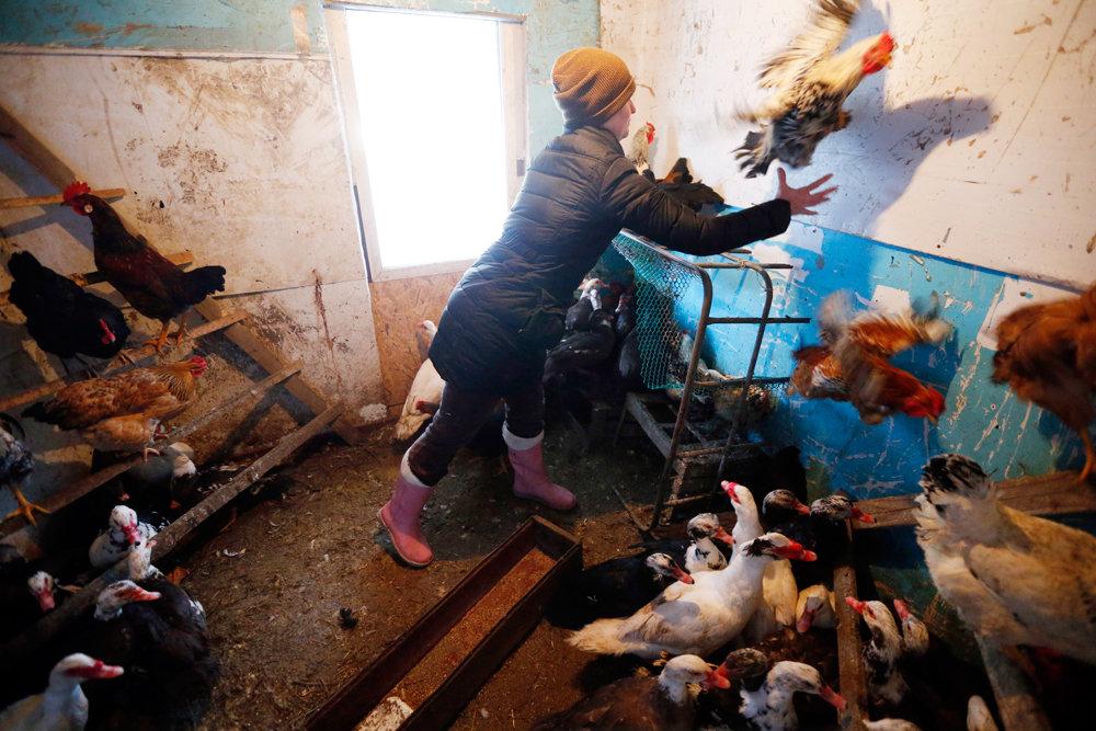 На картинке изображено Помещение, в котором женщина ловит курицу. Верховный Суд России признал законным штраф для жительницы Волгограда, которая разводила кур на своем участке